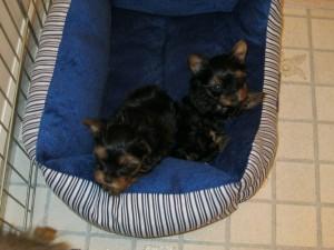 Baby Pups